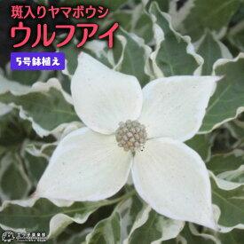 斑入りヤマボウシ 『 ウルフアイ 』 5号鉢植え