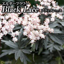 エルダーフラワー ( 西洋ニワトコ ) 『 ブラックレース 』 9cmポット苗