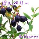 野生種ブルーベリー 『ビルベリー』 9cmポット苗