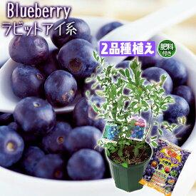 ブルーベリー 『 ラビットアイ系 2品種植え 』 8号スリット鉢 【肥料プレゼント!】