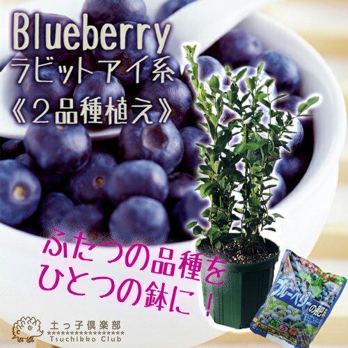 ブルーベリー 『 ラビットアイ系 2品種植え 』 ( 3年生 ) 8号スリット鉢 【肥料プレゼント!】