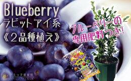 ブルーベリー『ラビットアイ系2品種植え』8号スリット鉢(おまけ肥料付き)