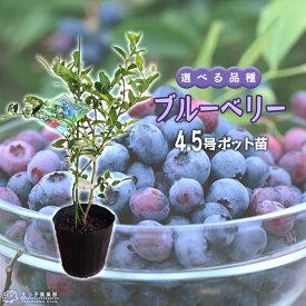 ブルーベリー 苗木 ( 3年生 ) 4.5号ポット苗 【 選べる品種 】