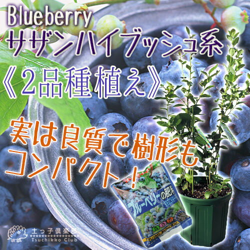 専用肥料プレゼント!ブルーベリー 『サザンハイブッシュ系 2品種植え』 (3年生) 8号スリット鉢