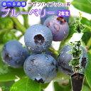 ブルーベリー 『 サザンハイブッシュ系 』 ( 2年生 ) 3.5号ポット苗 【 選べる品種 】