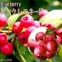 ブルーベリー 『 ピンクレモネード 』 2年生 10.5cmポット苗