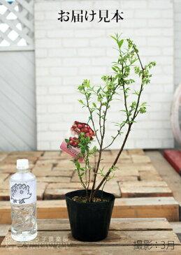 ブルーベリー『ピンクレモネード』2年生10.5cmポット苗