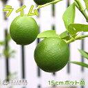 ライム(タヒチライム) 15cmポット接木苗