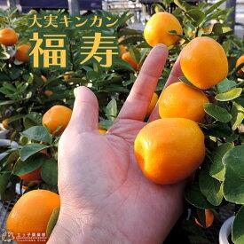 大実キンカン ( 福寿金柑 ) 15cmポット接木苗