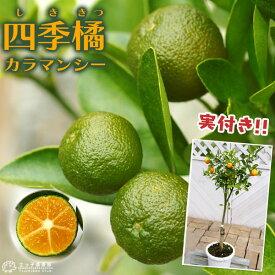 《 実付き 》 四季橘 『 カラマンシー 』 5号鉢植え 接木苗 ( 四季柑 )※実付き2〜3個なり