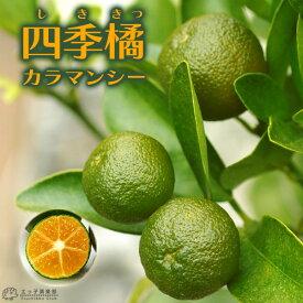 四季橘 『 カラマンシー 』 2年生 15cmポット接木苗 ( 四季柑 )