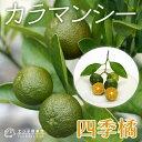 四季橘 『 カラマンシー 』 15cmポット接木苗