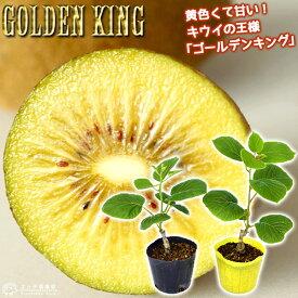 キウイフルーツ 『 ゴールデンキング 』 9cmポット接ぎ木苗 【 オス ・ メス 2本組 】
