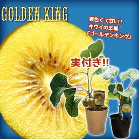 《 実付き 》 キウイフルーツ 『 ゴールデンキング 』 4号鉢 ※オス木付き (実付き1個なり)
