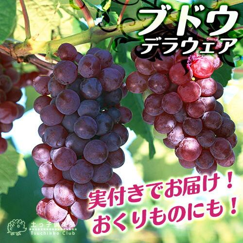 《実付き!!》ブドウ『デラウェア』6号鉢植え【期間限定】