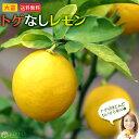 トゲなしレモン 8号鉢植え 接ぎ木苗 【 送料無料 】 大苗