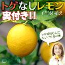 《 実付き 》 レモンの木『 トゲなしレモン 』 接ぎ木 6号鉢植え ( リスボン系 )※1個なり