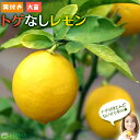 《 実付き 》 レモンの木 『 トゲなしレモン 』 接ぎ木 大苗 8号鉢植え 【 送料無料 】※実付き1個なり