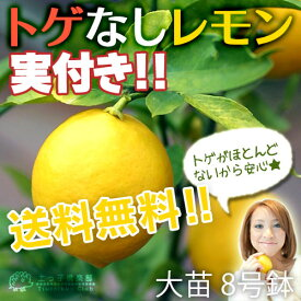 《 実付き 》 レモンの木 『 トゲなしレモン 』 株立ち 接ぎ木 大苗 8号鉢植え 【 送料無料 】