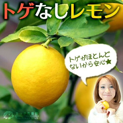 トゲなしレモン 6号鉢植え 接ぎ木苗