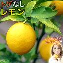 【楽天スーパーSALE 半額商品!】トゲなしレモン 6号鉢植え 接ぎ木苗