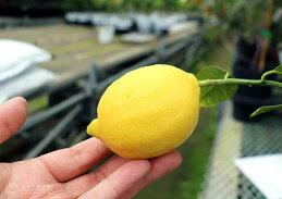 トゲなしレモン