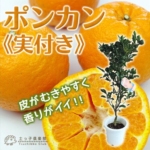 ≪ 実付き ≫ ポンカン 接ぎ木苗 6号鉢植え