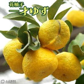 花柚子 ( 一才ゆず ) 15cmポット接木苗