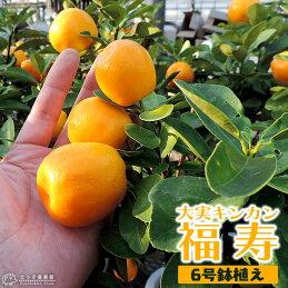 大実金柑(きんかん)6号鉢植え