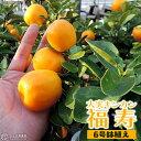 《 実付き 》 大実キンカン ( 福寿金柑 ) 接ぎ木苗 6号鉢植え