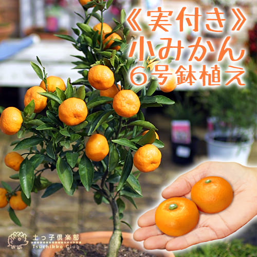 小みかん ( 紀州みかん ) 接ぎ木苗 6号鉢植え ≪ 実付き ≫