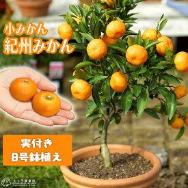 《 実付き 》 小みかん ( 紀州みかん ) 接ぎ木苗 6号鉢植え