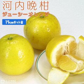 果汁たっぷり 『 ジューシーオレンジ ( 河内晩柑 ) 』 接ぎ木 15cmポット苗