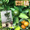 柑橘 『 橘 ( たちばな ) 』 21cmポット接ぎ木苗 《 大苗 》【 珍種 】【 送料無料 】