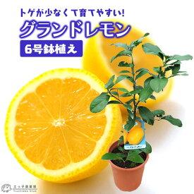 レモン 『 グランドレモン 』 2年生 接ぎ木苗 6号鉢植え