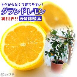 レモン『グランドレモン』《実付き!!》6号鉢植え