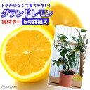 《 実付き 》 レモンの木 『 グランドレモン 』 接ぎ木苗 6号鉢植え (※1個なり)