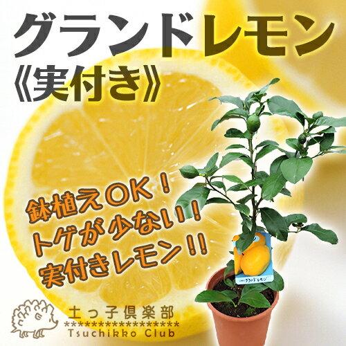 レモン 『 グランドレモン 』 接ぎ木苗 6号鉢植え (※1個なり) ≪ 実付き ≫