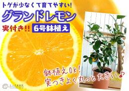レモン『グランドレモン』