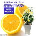 《 実付き 》レモンの木 実付きの鉢植え『 グランドレモン 』 接ぎ木苗 8号鉢 【 送料無料 】( ※実付き2個以上 )