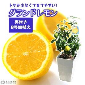 《 実付き 》レモンの木 実付きの鉢植え『 グランドレモン 』 接ぎ木苗 8号鉢 【 送料無料 】( ※実付き2個以上 ) <今だけポイント10倍 8/13昼迄>
