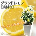レモン 『 グランドレモン 』 接ぎ木苗 大株 8号鉢植え ( ※実付き2個以上 ) ≪ 実付き ≫