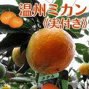 早生温州みかん(西海ミカン) 接ぎ木苗 6号鉢植え ≪ 実付き ≫
