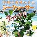 《実付き!!》シークワーサー 3.5号鉢植え(接ぎ木苗)