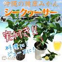実付き シークワーサー 3.5号鉢植え 接ぎ木苗 お洒落な鉢
