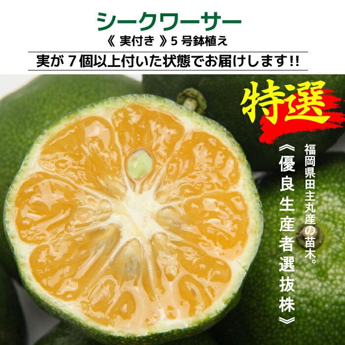 【 TVで紹介! 】沖縄の健康みかん 実付き シークワーサー 5号鉢植え 接ぎ木苗