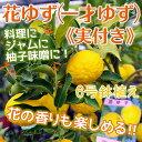 《実付き!!》ユズ『花柚子』(一才ゆず) 接ぎ木苗 6号鉢植え