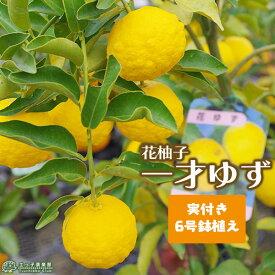 《 実付き 》 一才ゆず 『 花柚子 』 ユズ 接ぎ木苗 6号鉢植え