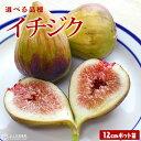 イチジク 全12品種 12cmポット苗 【 選べる品種 】