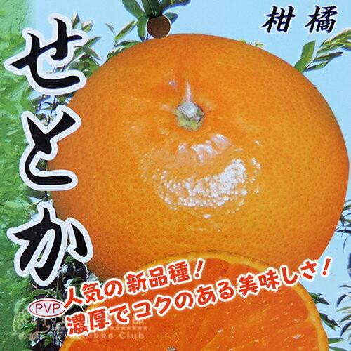 柑橘 『せとか』 13.5cmポット接木苗